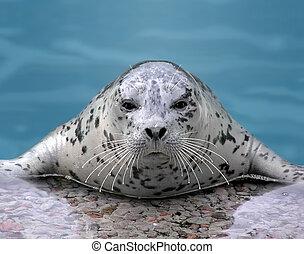 Harp seal looking at camera