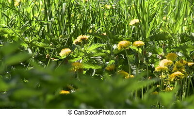 Nature. View of dandelions and nettles on meadow
