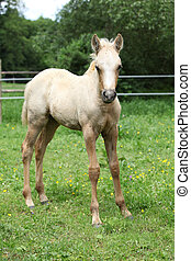Amazing foal on pasturage - Portrait of amazing palomino...
