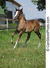 Amazing foal moving alone on pasturage - Amazing brown foal...