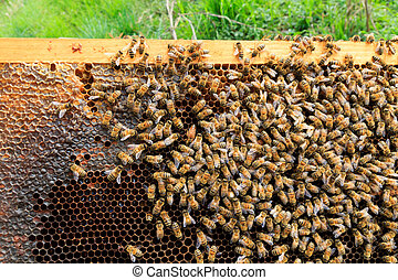 Queen bee close up - Queen bee detail. Apiculture, rural...