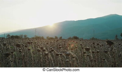 Field of withered sunflowers at sunset