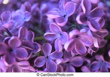 Micro Lilac image - micro image of lilac flowers