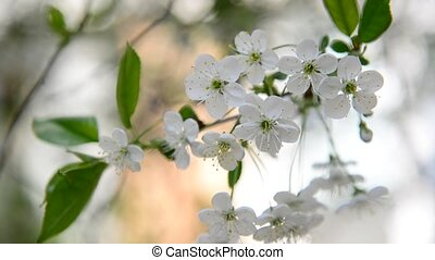 Cherry branch in abundant flowering, macro - Cherry branch...
