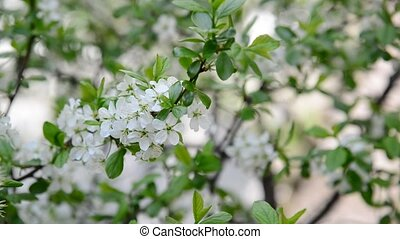 Blooming plum tree in spring - A Blooming plum tree in a...