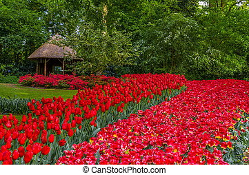 Colorful red tulips, Keukenhof Park, Lisse in Holland