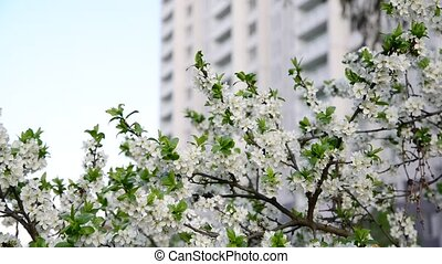Plum blossoms against a background of house - Plum blossoms...