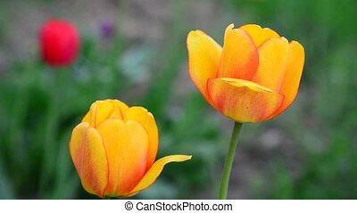 Several beautiful yellow tulips closeup - Several a...