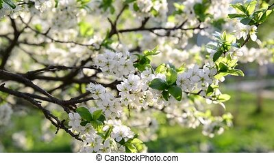Flowering plum trees in park at spring - Flowering plum...