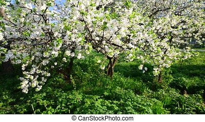 Flowering plum trees in park - Flowering plum trees in the...