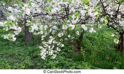 Flowering plum trees in park at springtime - Flowering plum...