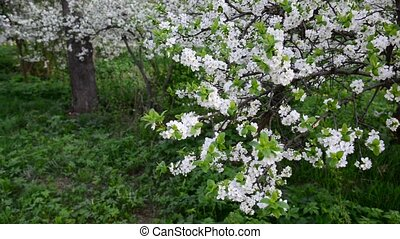 Flowering plum trees in park at springtime - Flowering plum...