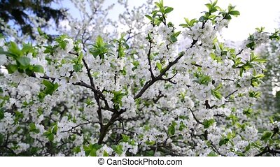 plum trees in park at springtime - Flowering plum trees in...