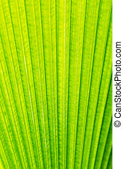Green leaf of Palm tree texture