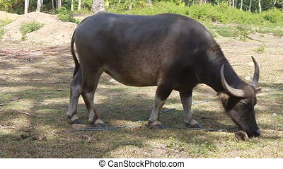 Water buffalo feeding on grass - Philippine water buffalo on...