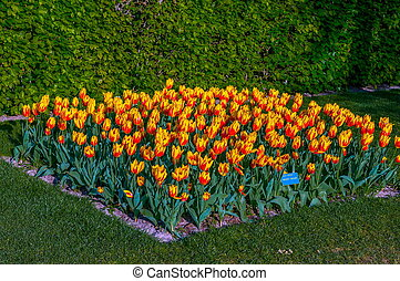Colorful orange yellow tulips, Keukenhof Park, Lisse in Holland