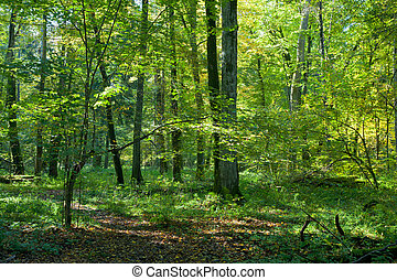 Natura deciduous stand of Bialowieza Forest in fall -...