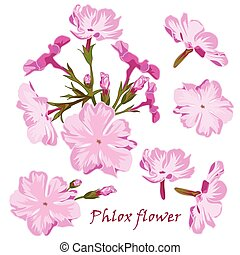 Set of flowers pink phlox in realistic hand-drawn style. -...