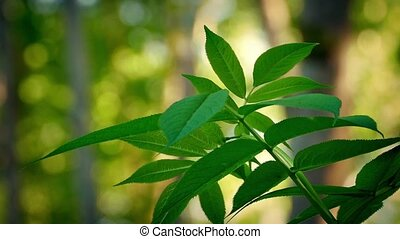 Leafy Plant In Evening Woodland - Leafy plant in gentle...