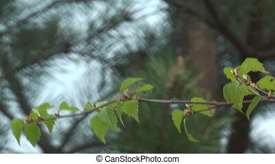 Birch branch - The branch of a birch with leaves shakes on a...