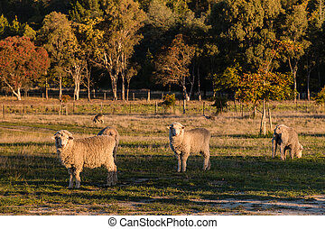 curious merino sheep in paddock - flock of curious merino...