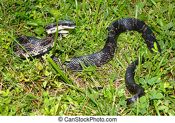 Rat Snake Illinois Wildlife - Rat Snake Elaphe obsoleta in a...
