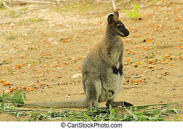 Red-necked Wallaby, also Bennetts wallaby, Macropus...