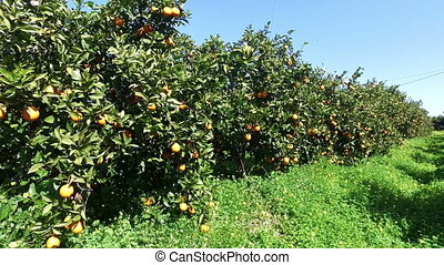Orange orchard in Portugal - Orange orchard in the...