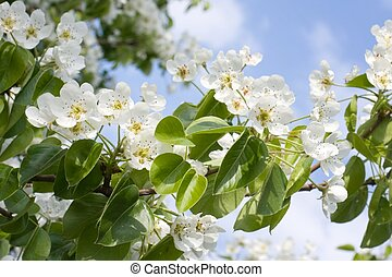 Flowering pear - Flowering branch of pear with white flowers