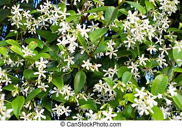Flowering Jasmine - Flowering jasmine plant in spring