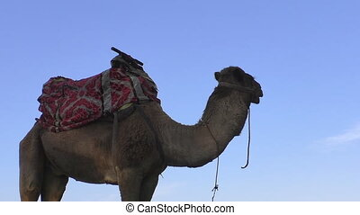 Camel against blue sky - Low angle side view of a camel...