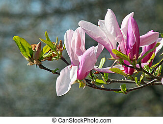 A branch of Magnolia flower