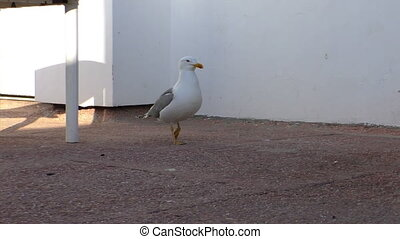 Seagull walking on concrete floor