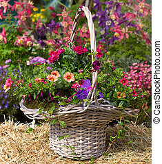 Basket with beautiful early flowering plants. - Basket with...