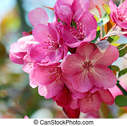 A bunch of crabapple flowers