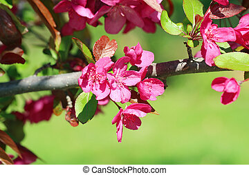 Crabapple flowers on a branch