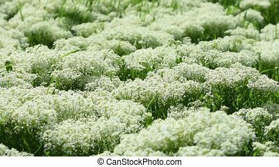 Thickets of blooming yarrow on a spring meadow