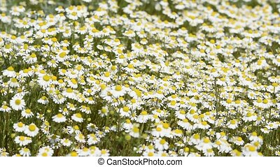 Thickets of chamomile on a spring meadow