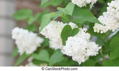 the flowers white lilac