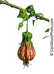 bellflower - an orange bellflower isolated on a white...