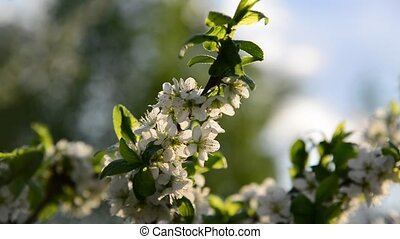 flowers on plum tree in spring On the Sunset - Large flowers...
