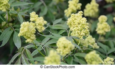 Flowering red elderberry outside in early spring - Flowering...