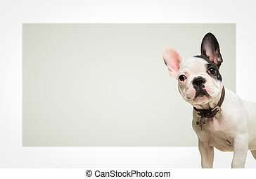french bulldog standing in front of a big blank board -...