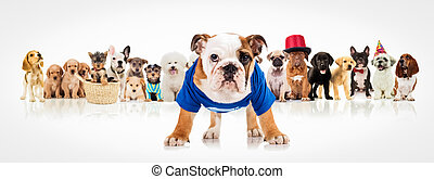 english bulldog standing in front of  dogs pack