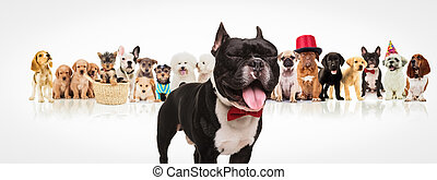 french bulldog  sticking out tongue in front of dogs pack