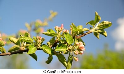 Sprig of apple blossom on background of sky - Sprig of apple...