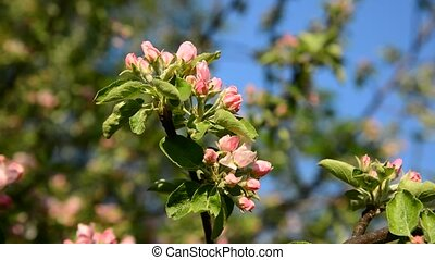 Sprig of apple blossom on a background of the sky