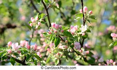 Apple orchard in bloom pink flowers - Apple orchard in a...