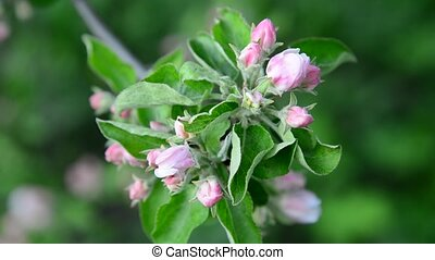 apple branch with pink buds - Apple orchard in a bloom pink...