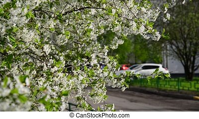 Cherry blossoms in spring city - Cherry blossoms in in a...